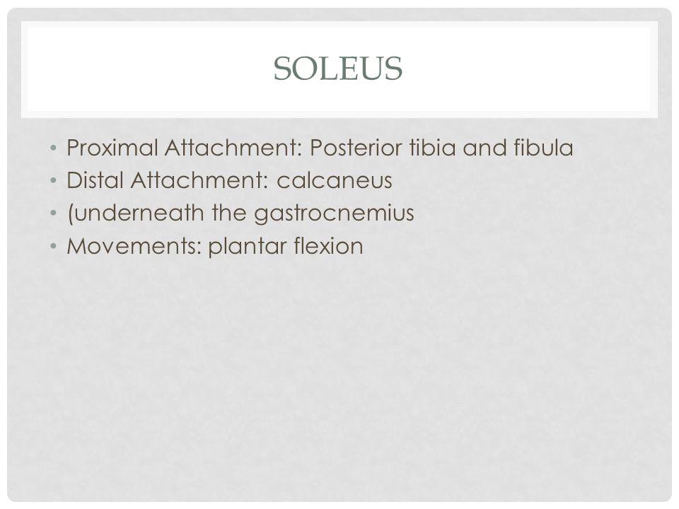 SOLEUS Proximal Attachment: Posterior tibia and fibula Distal Attachment: calcaneus (underneath the gastrocnemius Movements: plantar flexion
