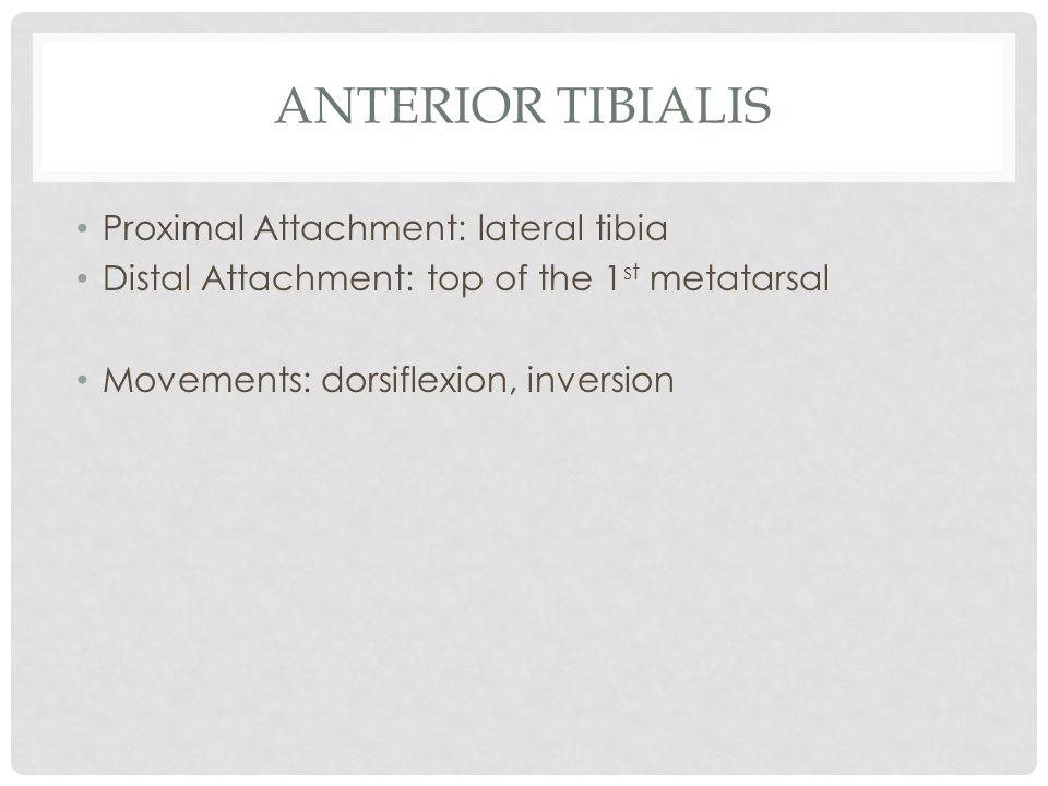 ANTERIOR TIBIALIS Proximal Attachment: lateral tibia Distal Attachment: top of the 1 st metatarsal Movements: dorsiflexion, inversion
