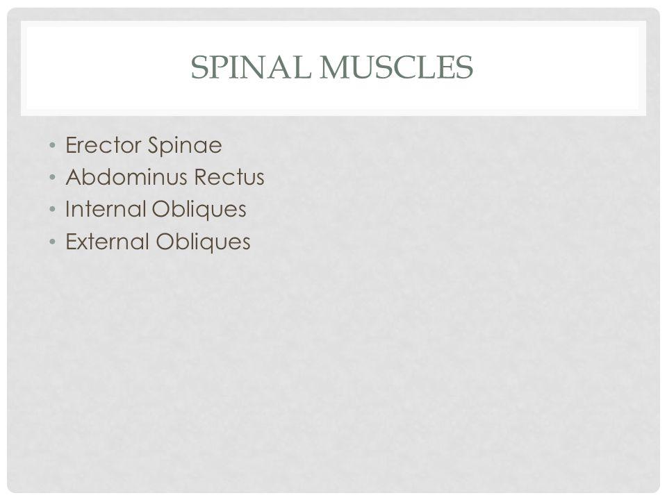 SPINAL MUSCLES Erector Spinae Abdominus Rectus Internal Obliques External Obliques