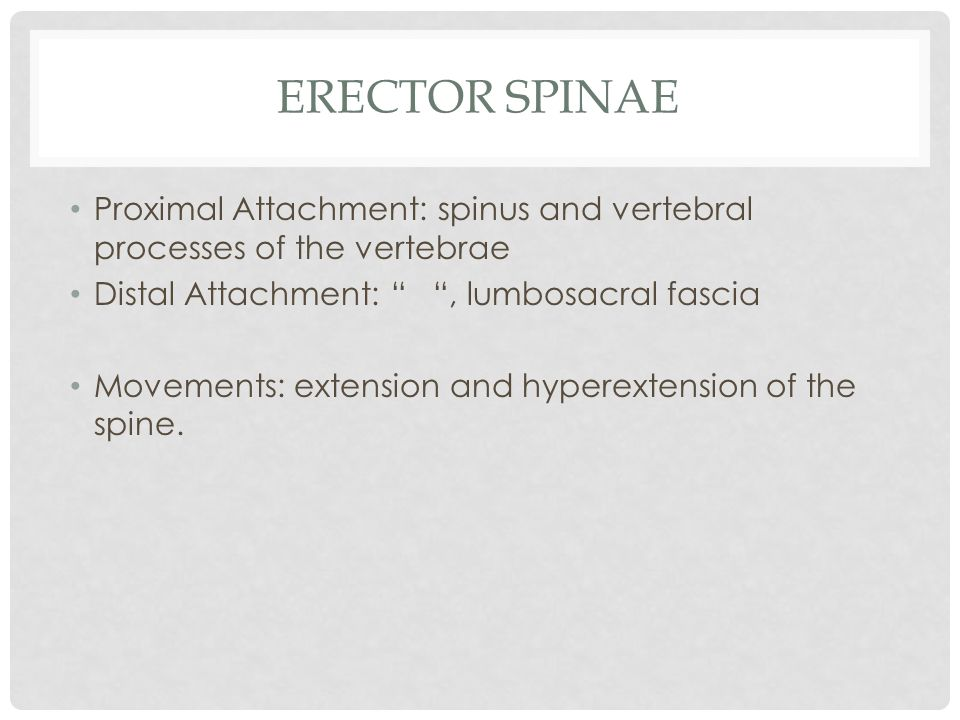 """ERECTOR SPINAE Proximal Attachment: spinus and vertebral processes of the vertebrae Distal Attachment: """" """", lumbosacral fascia Movements: extension an"""