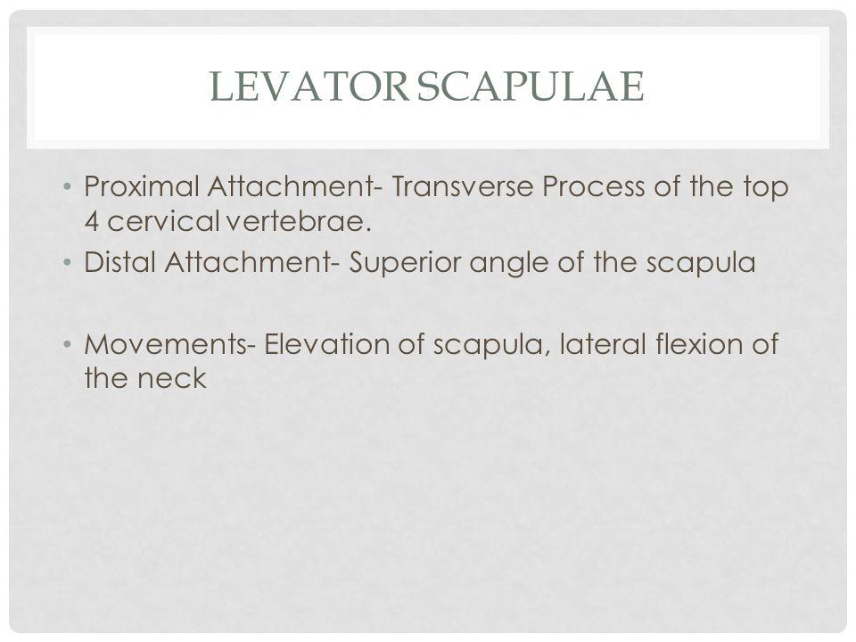 LEVATOR SCAPULAE Proximal Attachment- Transverse Process of the top 4 cervical vertebrae. Distal Attachment- Superior angle of the scapula Movements-