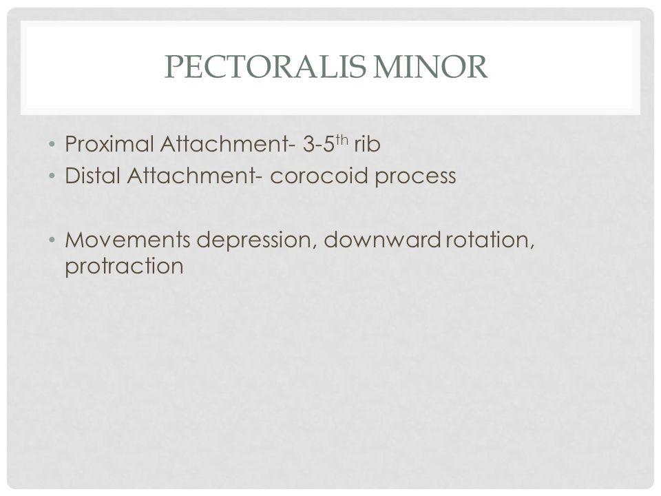 PECTORALIS MINOR Proximal Attachment- 3-5 th rib Distal Attachment- corocoid process Movements depression, downward rotation, protraction
