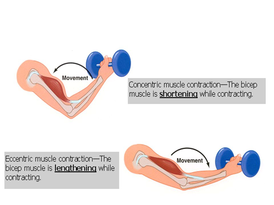 Isometric Contraction Isometric muscle contractions do not involve any movement.