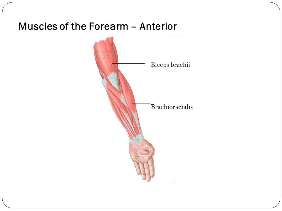 Muscles of the Forearm – Anterior Biceps brachii Brachioradialis
