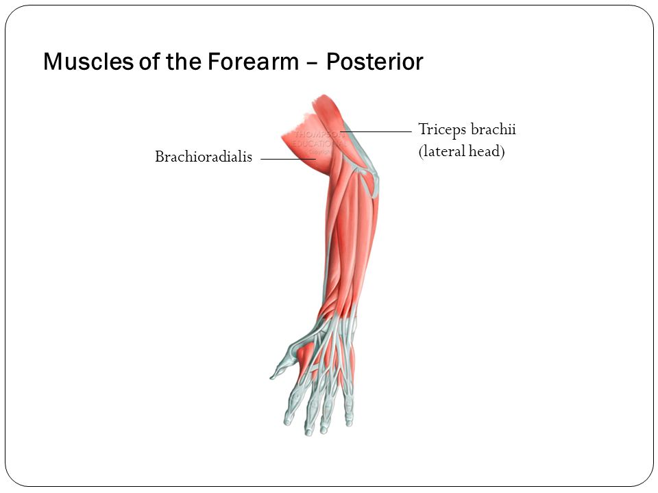 Muscles of the Forearm – Posterior Brachioradialis Triceps brachii (lateral head)