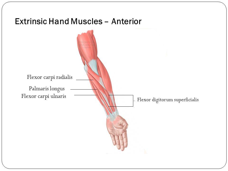 Extrinsic Hand Muscles – Anterior Flexor carpi radialis Palmaris longus Flexor carpi ulnaris Flexor digitorum superficialis