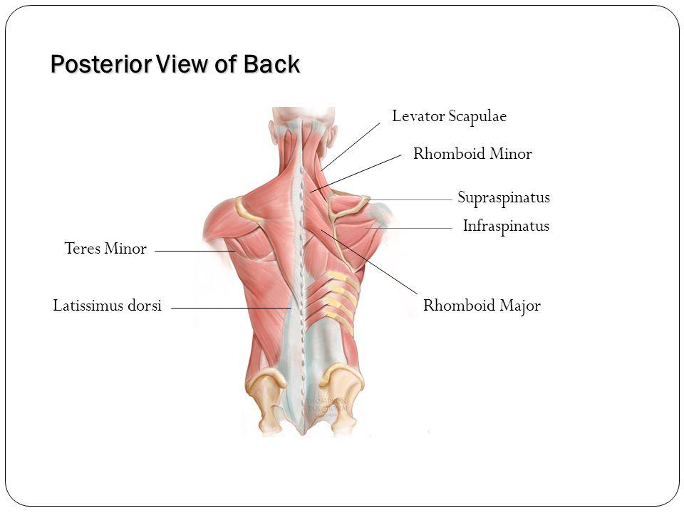 Posterior View of Back Latissimus dorsi Infraspinatus Supraspinatus Teres Minor Rhomboid Minor Rhomboid Major Levator Scapulae
