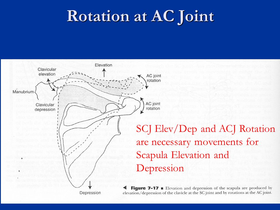 Rotation at AC Joint SCJ Elev/Dep and ACJ Rotation are necessary movements for Scapula Elevation and Depression