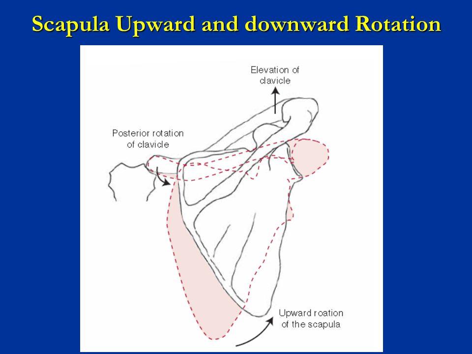 Scapula Upward and downward Rotation