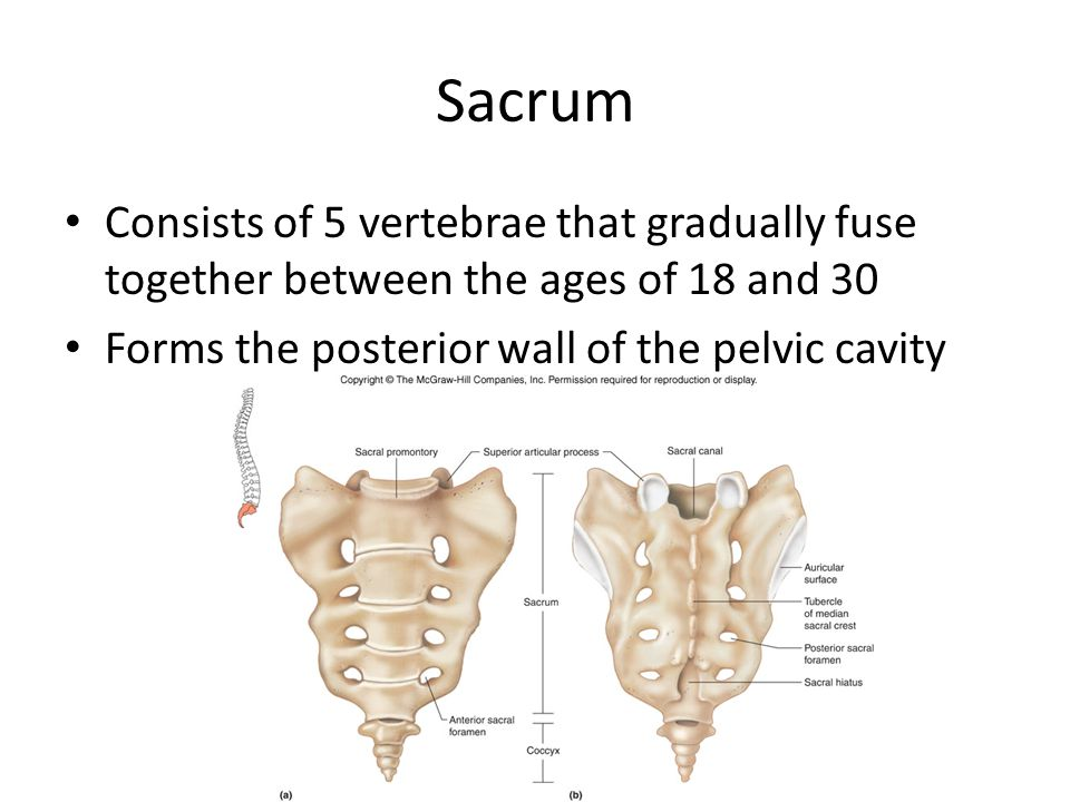 Sacrum Consists of 5 vertebrae that gradually fuse together between the ages of 18 and 30 Forms the posterior wall of the pelvic cavity