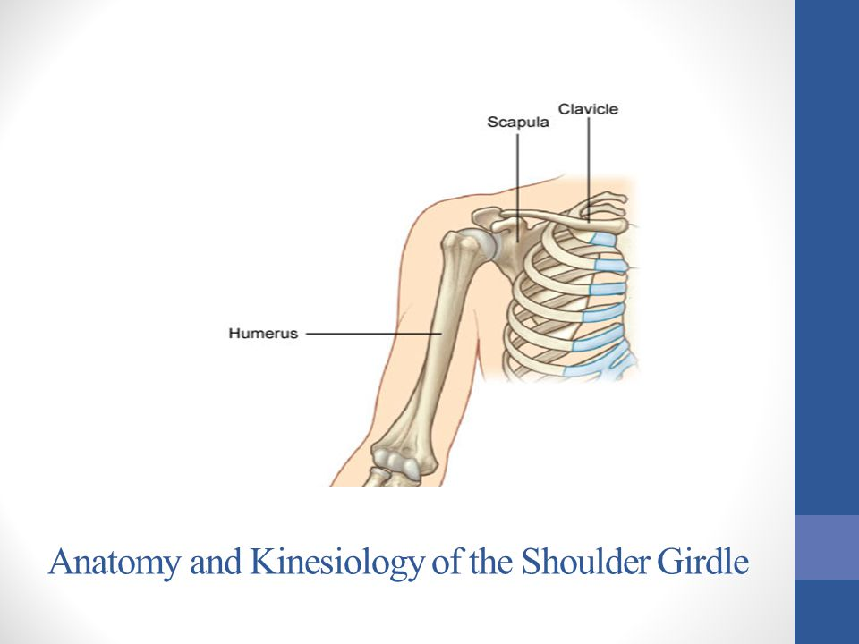 Lesson Plan: 40a Anatomy and Kinesiology of the Shoulder Girdle 5 minutes:Breath of Arrival and Attendance 20 minutes:New Muscles: rotator cuff muscles, pectoralis minor, and serratus anterior 15 minutes:Scapulothoracic Agonists 15 minutes:Glenohumeral Agonists