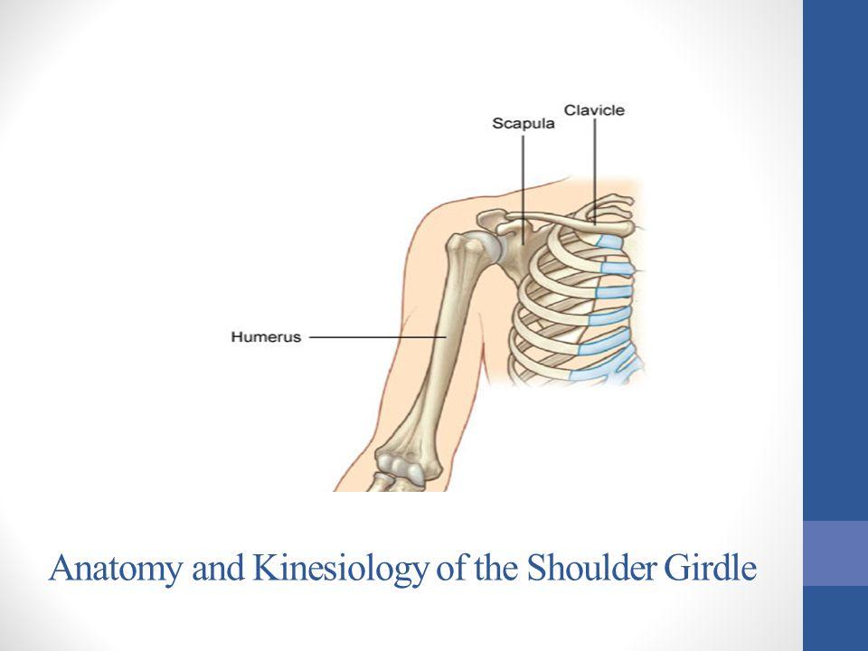 Glenohumeral Joint Muscles Posterior View Supraspinatus Infraspinatus Teres Minor Teres Major Latissimus Dorsi Deltoid Triceps Brachii