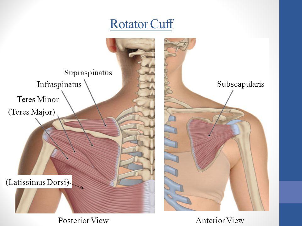 Rotator Cuff Supraspinatus Infraspinatus (Teres Major) Subscapularis Posterior ViewAnterior View (Latissimus Dorsi) Teres Minor
