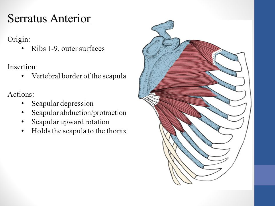 Serratus Anterior Origin: Ribs 1-9, outer surfaces Insertion: Vertebral border of the scapula Actions: Scapular depression Scapular abduction/protract