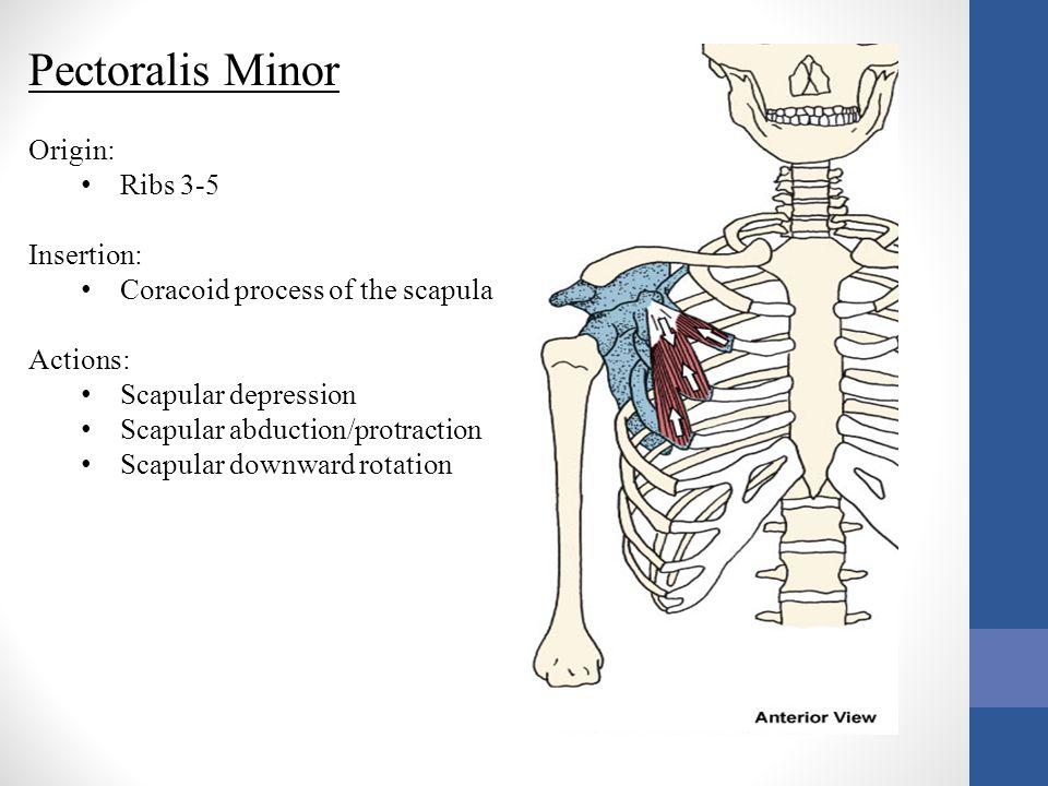Pectoralis Minor Origin: Ribs 3-5 Insertion: Coracoid process of the scapula Actions: Scapular depression Scapular abduction/protraction Scapular down