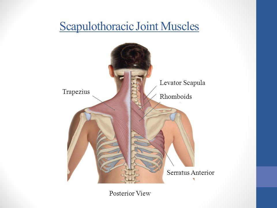 Trapezius Levator Scapula Rhomboids Serratus Anterior Posterior View Scapulothoracic Joint Muscles