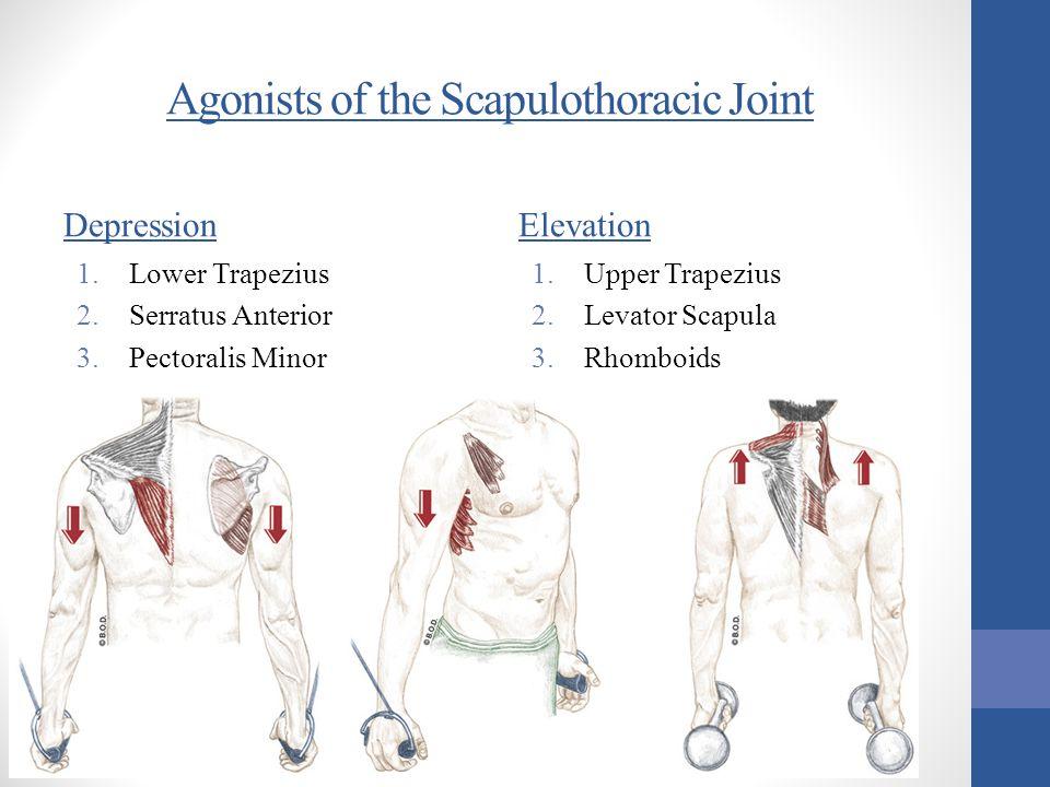 Agonists of the Scapulothoracic Joint Depression 1.Lower Trapezius 2.Serratus Anterior 3.Pectoralis Minor Elevation 1.Upper Trapezius 2.Levator Scapul