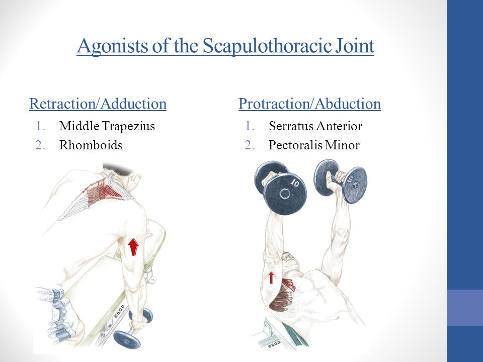 Agonists of the Scapulothoracic Joint Retraction/Adduction 1.Middle Trapezius 2.Rhomboids Protraction/Abduction 1.Serratus Anterior 2.Pectoralis Minor