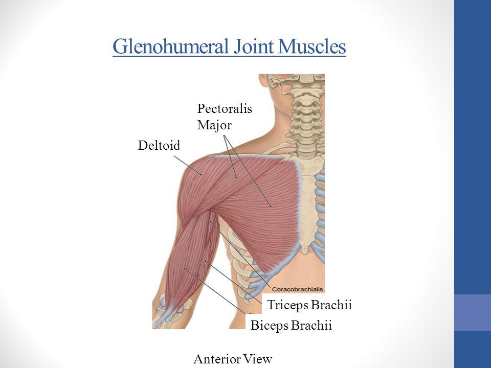 Glenohumeral Joint Muscles Anterior View Deltoid Pectoralis Major Triceps Brachii Biceps Brachii