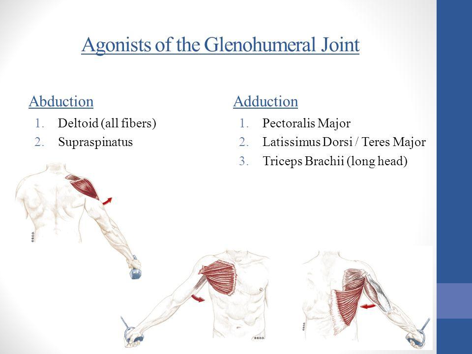 Agonists of the Glenohumeral Joint Abduction 1.Deltoid (all fibers) 2.Supraspinatus Adduction 1.Pectoralis Major 2.Latissimus Dorsi / Teres Major 3.Tr