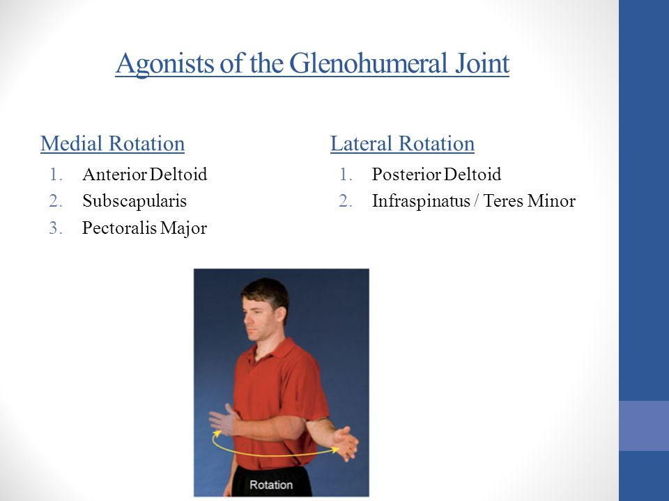 Agonists of the Glenohumeral Joint Medial Rotation 1.Anterior Deltoid 2.Subscapularis 3.Pectoralis Major Lateral Rotation 1.Posterior Deltoid 2.Infras