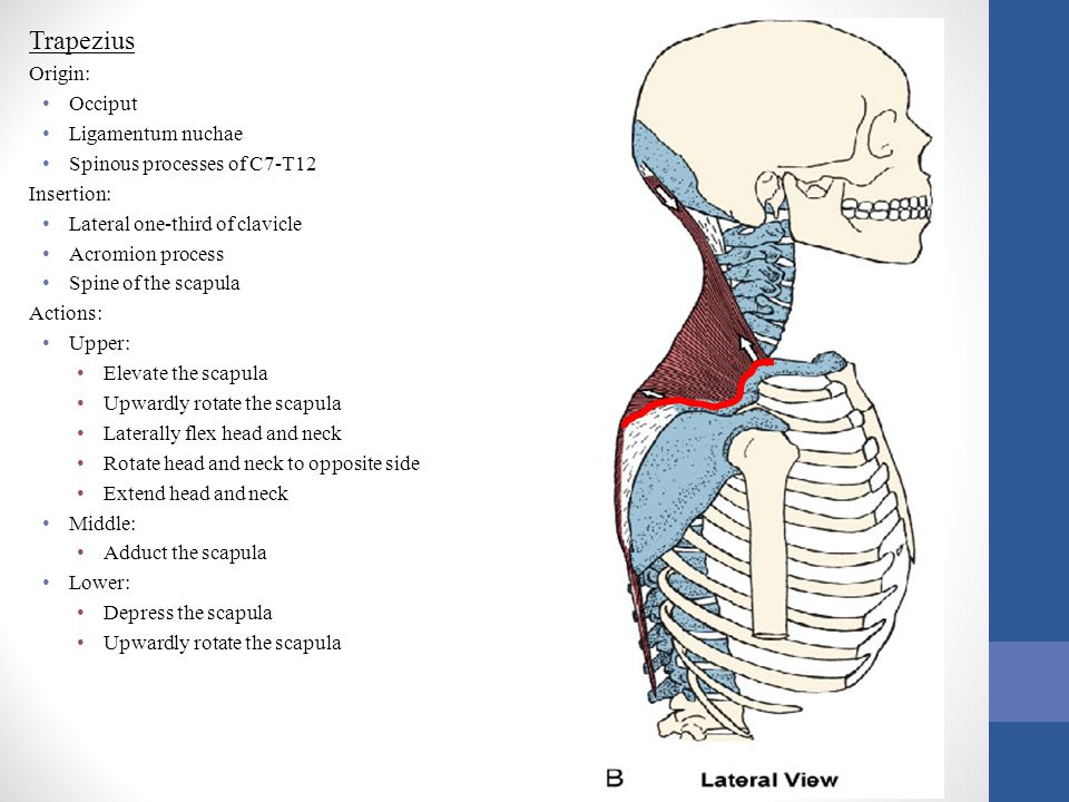 Trapezius Origin: Occiput Ligamentum nuchae Spinous processes of C7-T12 Insertion: Lateral one-third of clavicle Acromion process Spine of the scapula