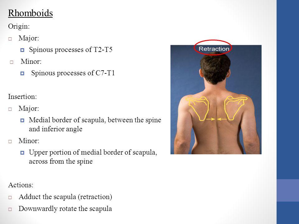 Rhomboids Origin:  Major:  Spinous processes of T2-T5  Minor:  Spinous processes of C7-T1 Insertion:  Major:  Medial border of scapula, between