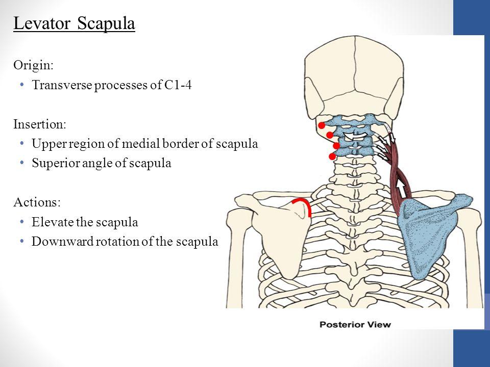 Levator Scapula Origin: Transverse processes of C1-4 Insertion: Upper region of medial border of scapula Superior angle of scapula Actions: Elevate th