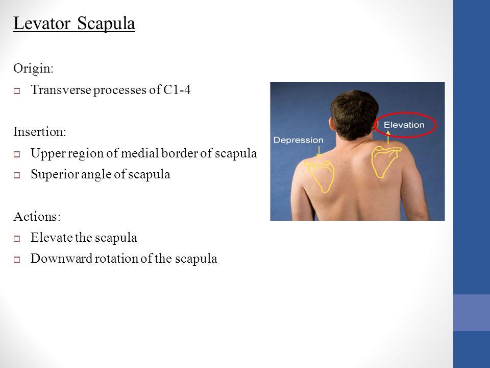 Levator Scapula Origin:  Transverse processes of C1-4 Insertion:  Upper region of medial border of scapula  Superior angle of scapula Actions:  El