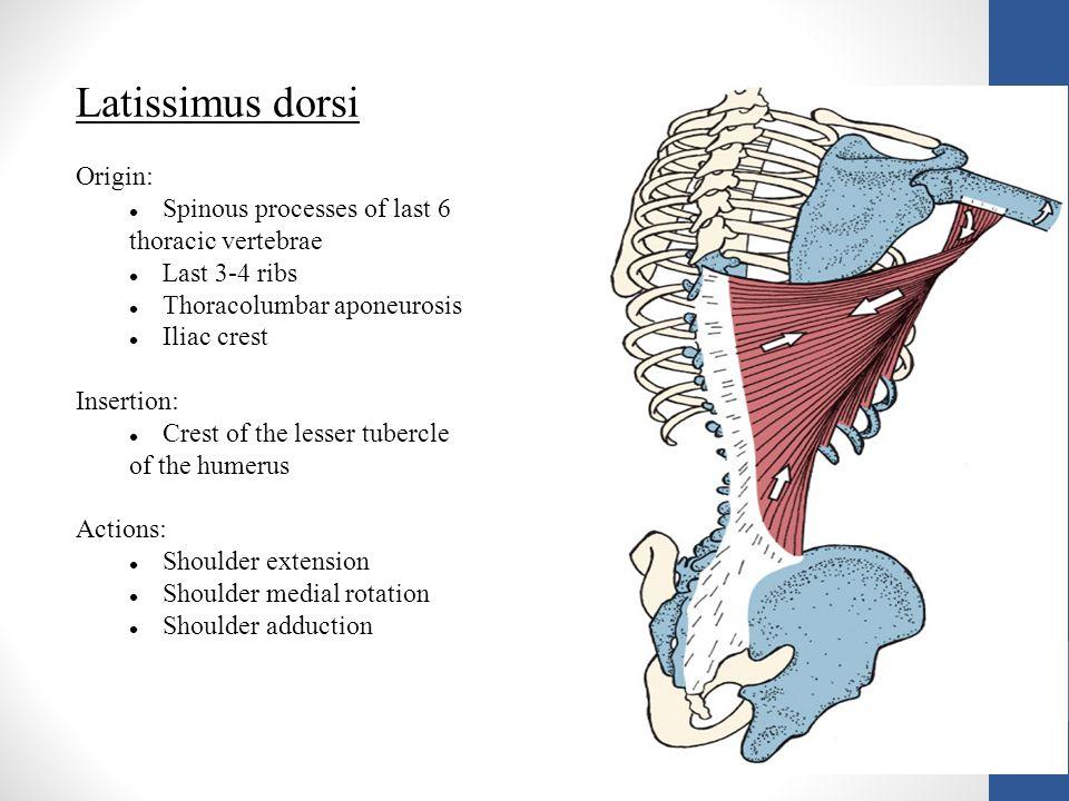 Latissimus dorsi Origin: Spinous processes of last 6 thoracic vertebrae Last 3-4 ribs Thoracolumbar aponeurosis Iliac crest Insertion: Crest of the le