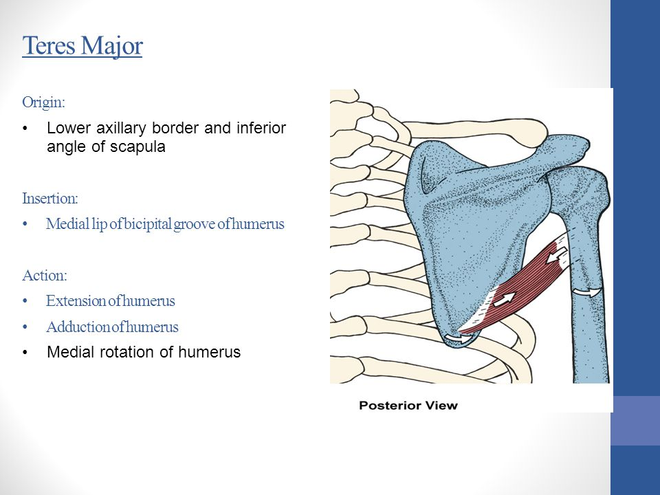 Teres Major Origin: Lower axillary border and inferior angle of scapula Insertion: Medial lip of bicipital groove of humerus Action: Extension of hume