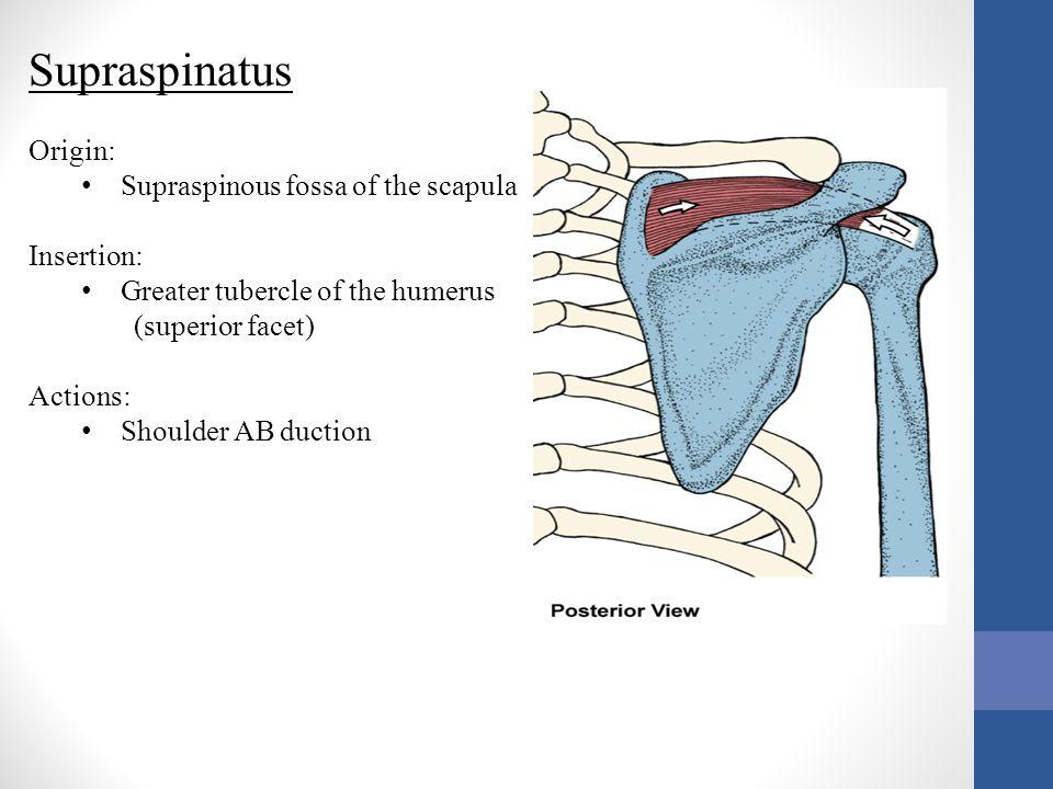 Serratus Anterior Origin: Ribs 1-9, outer surfaces Insertion: Vertebral border of the scapula Actions: Scapular depression Scapular abduction/protraction Scapular upward rotation Holds the scapula to the thorax