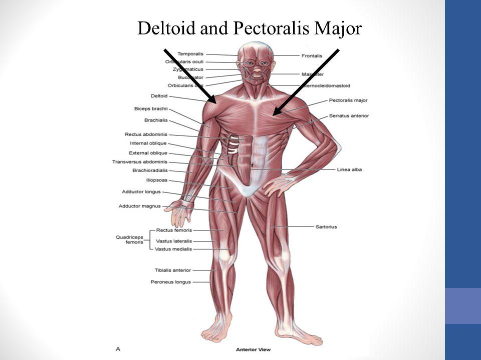 Deltoid and Pectoralis Major