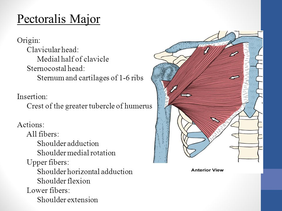 Pectoralis Major Origin: Clavicular head: Medial half of clavicle Sternocostal head: Sternum and cartilages of 1-6 ribs Insertion: Crest of the greate