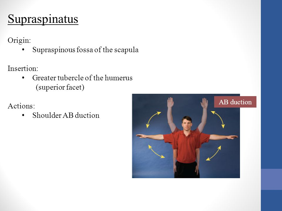 Agonists of the Glenohumeral Joint Medial Rotation 1.Anterior Deltoid 2.Subscapularis 3.Pectoralis Major Lateral Rotation 1.Posterior Deltoid 2.Infraspinatus / Teres Minor
