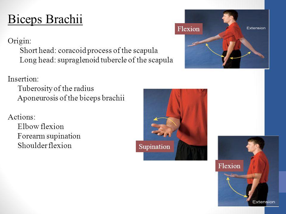 Biceps Brachii Origin: Short head: coracoid process of the scapula Long head: supraglenoid tubercle of the scapula Insertion: Tuberosity of the radius