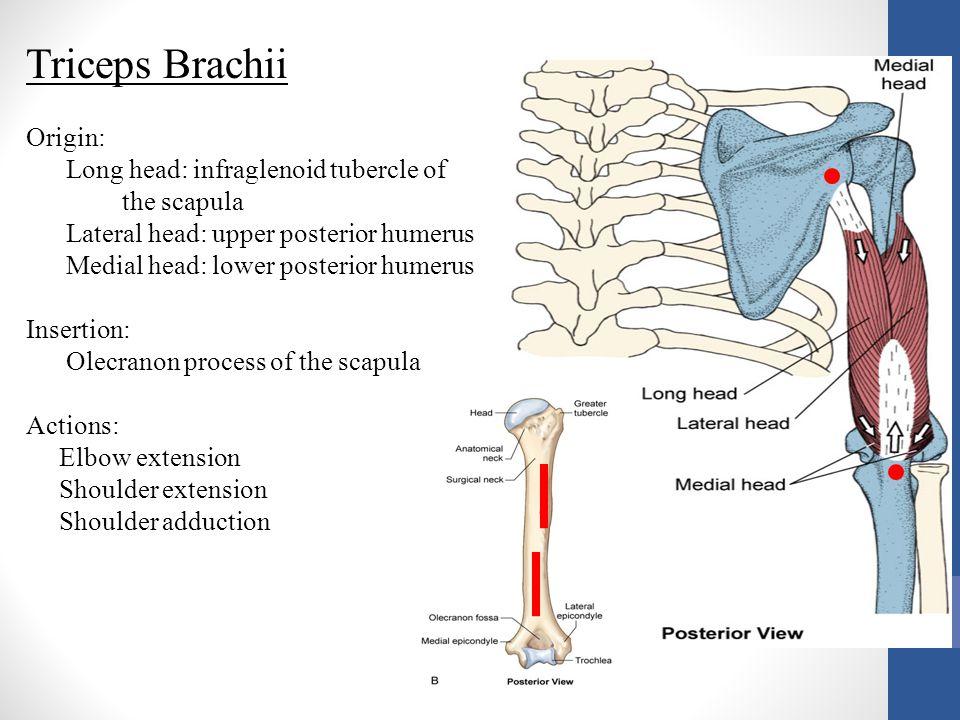 Triceps Brachii Origin: Long head: infraglenoid tubercle of the scapula Lateral head: upper posterior humerus Medial head: lower posterior humerus Ins