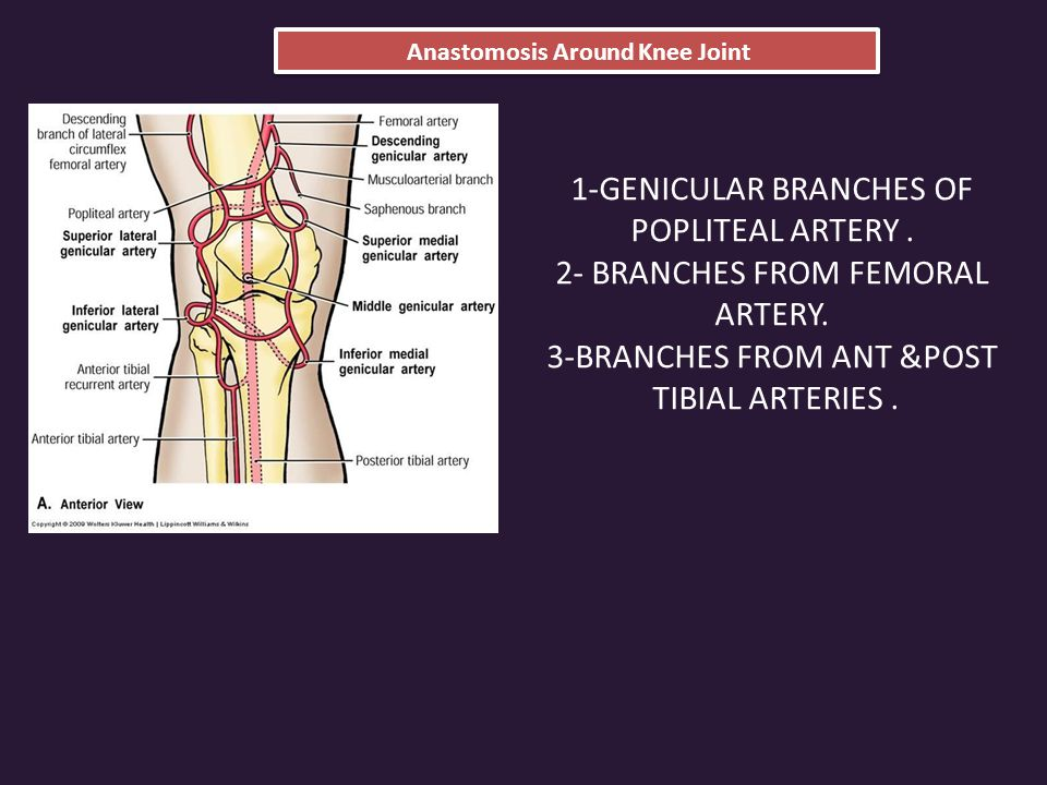 Anastomosis Around Knee Joint 1-GENICULAR BRANCHES OF POPLITEAL ARTERY.
