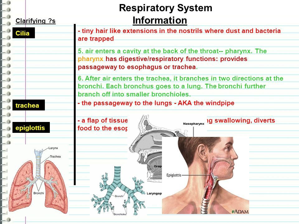 Functions Clarifying ?s Information 1. Move oxygen from outside environment into body. 2. Removes carbon dioxide/H20 from body. Respiratory System res