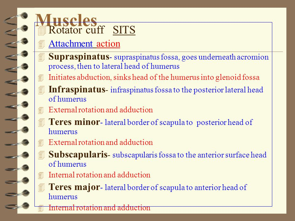 Muscles 4 Rotator cuff SITS 4 Attachmentaction 4 Supraspinatus - supraspinatus fossa, goes underneath acromion process, then to lateral head of humerus 4 Initiates abduction, sinks head of the humerus into glenoid fossa 4 Infraspinatus - infraspinatus fossa to the posterior lateral head of humerus 4 External rotation and adduction 4 Teres minor - lateral border of scapula to posterior head of humerus 4 External rotation and adduction 4 Subscapularis - subscapularis fossa to the anterior surface head of humerus 4 Internal rotation and adduction 4 Teres major - lateral border of scapula to anterior head of humerus 4 Internal rotation and adduction