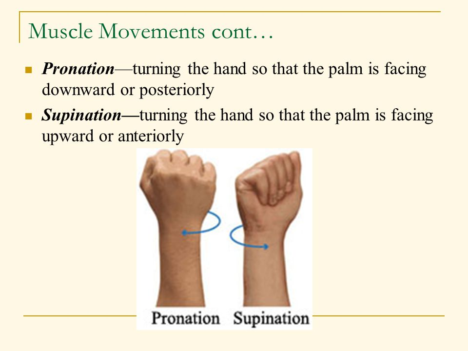 Muscle Movements cont… Pronation—turning the hand so that the palm is facing downward or posteriorly Supination—turning the hand so that the palm is f