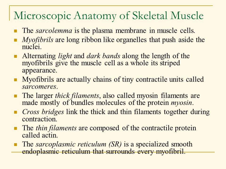 Microscopic Anatomy of Skeletal Muscle The sarcolemma is the plasma membrane in muscle cells. Myofibrils are long ribbon like organelles that push asi