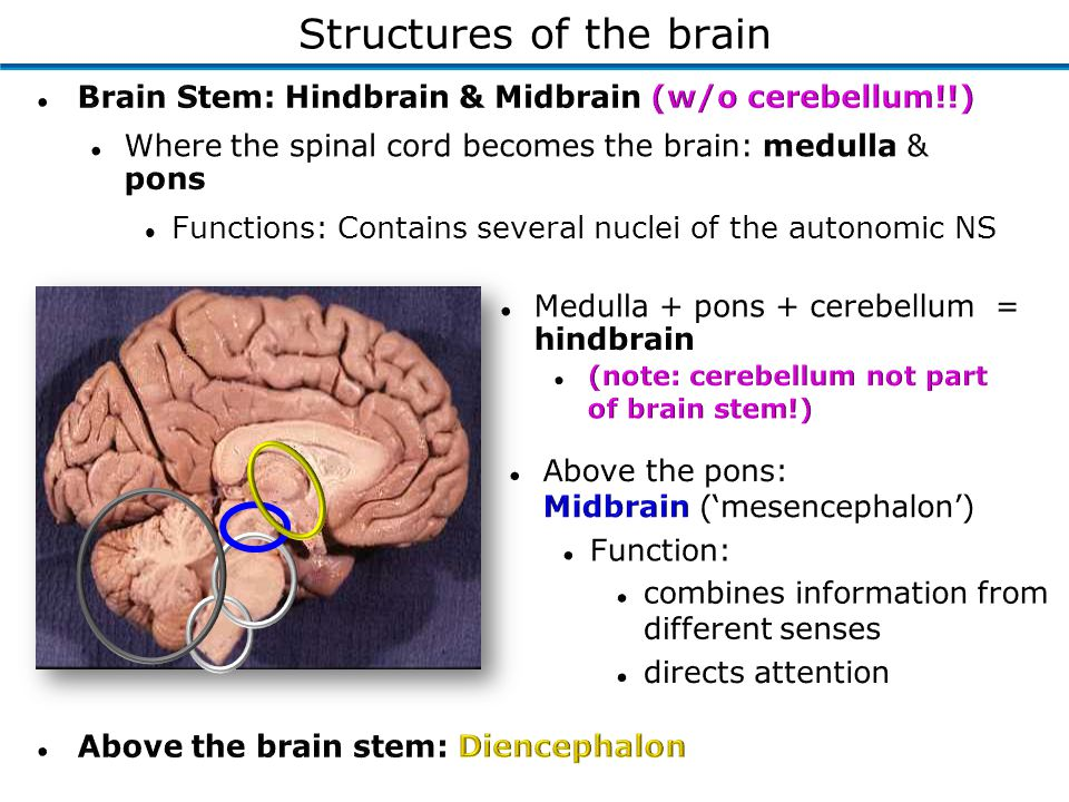 Structures of the brain l Functions: Contains several nuclei of the autonomic NS