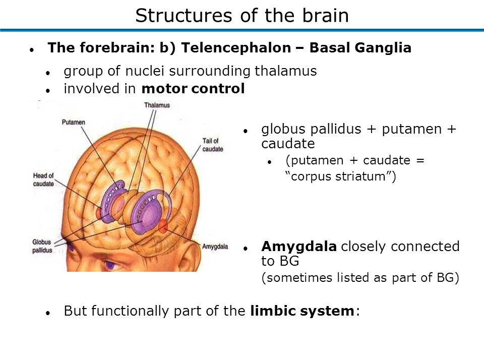 l The forebrain: b) Telencephalon – Basal Ganglia l group of nuclei surrounding thalamus l involved in motor control l globus pallidus + putamen + caudate l (putamen + caudate = corpus striatum ) l Amygdala closely connected to BG (sometimes listed as part of BG) l But functionally part of the limbic system: Structures of the brain
