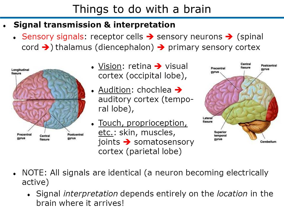 l Signal transmission & interpretation Things to do with a brain l Vision: retina  visual cortex (occipital lobe), l Audition: chochlea  auditory cortex (tempo- ral lobe), l Touch, proprioception, etc.: skin, muscles, joints  somatosensory cortex (parietal lobe) l NOTE: All signals are identical (a neuron becoming electrically active) l Signal interpretation depends entirely on the location in the brain where it arrives.