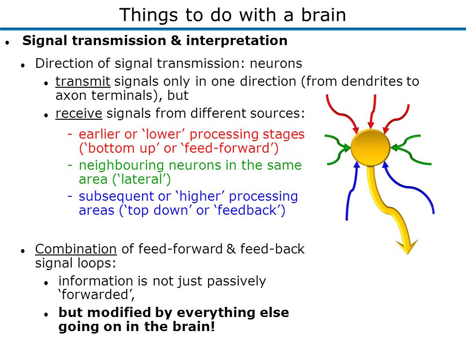l Direction of signal transmission: neurons l transmit signals only in one direction (from dendrites to axon terminals), but l receive signals from di