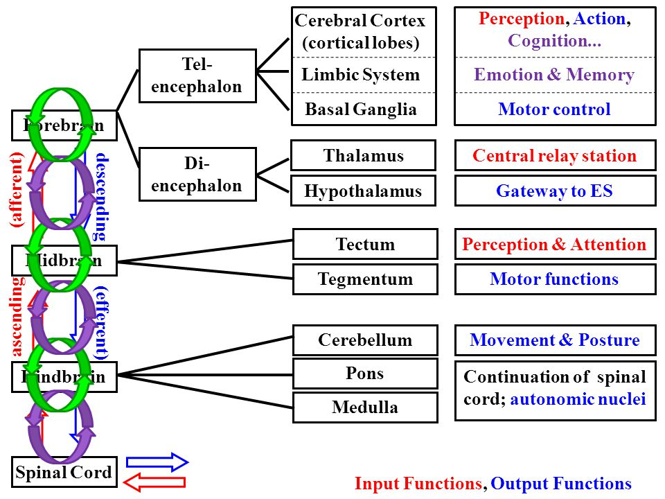 Hindbrain Midbrain Forebrain Spinal Cord CerebellumMovement & Posture Pons Medulla Continuation of spinal cord; autonomic nuclei TectumPerception & At