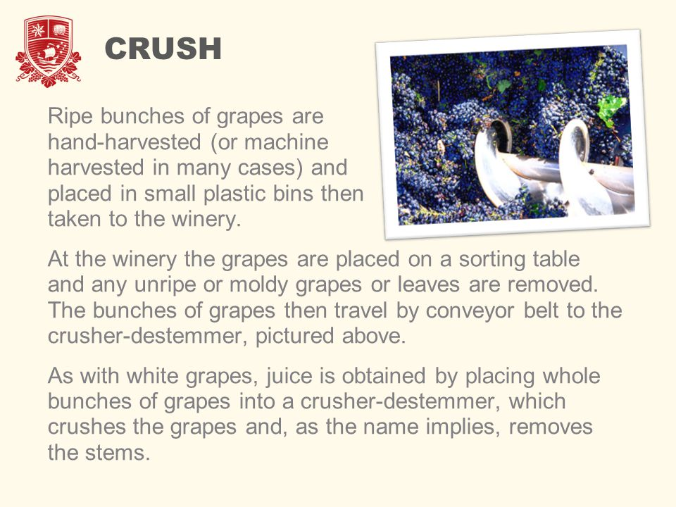 CRUSH Ripe bunches of grapes are hand-harvested (or machine harvested in many cases) and placed in small plastic bins then taken to the winery. At the