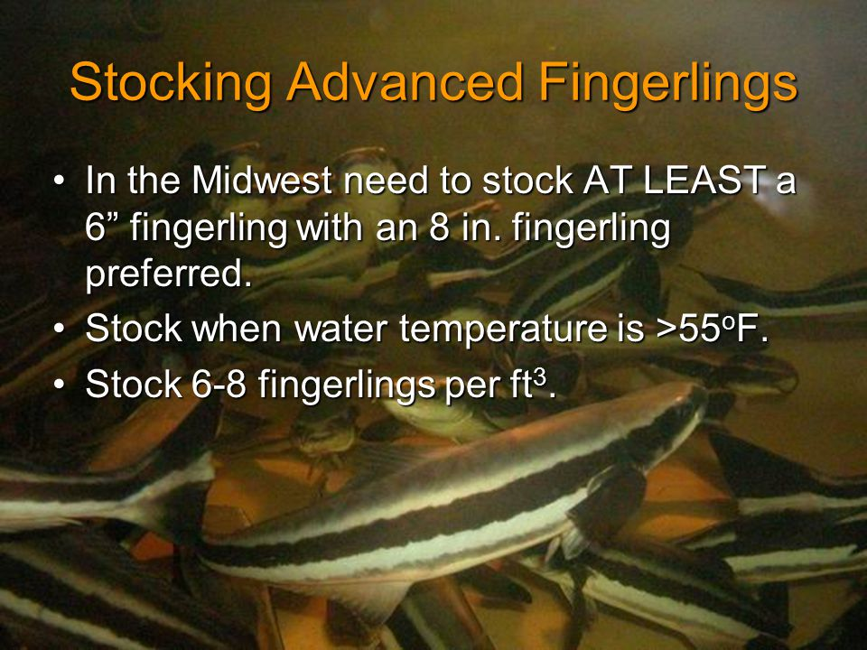 Stocking Advanced Fingerlings In the Midwest need to stock AT LEAST a 6 fingerling with an 8 in.