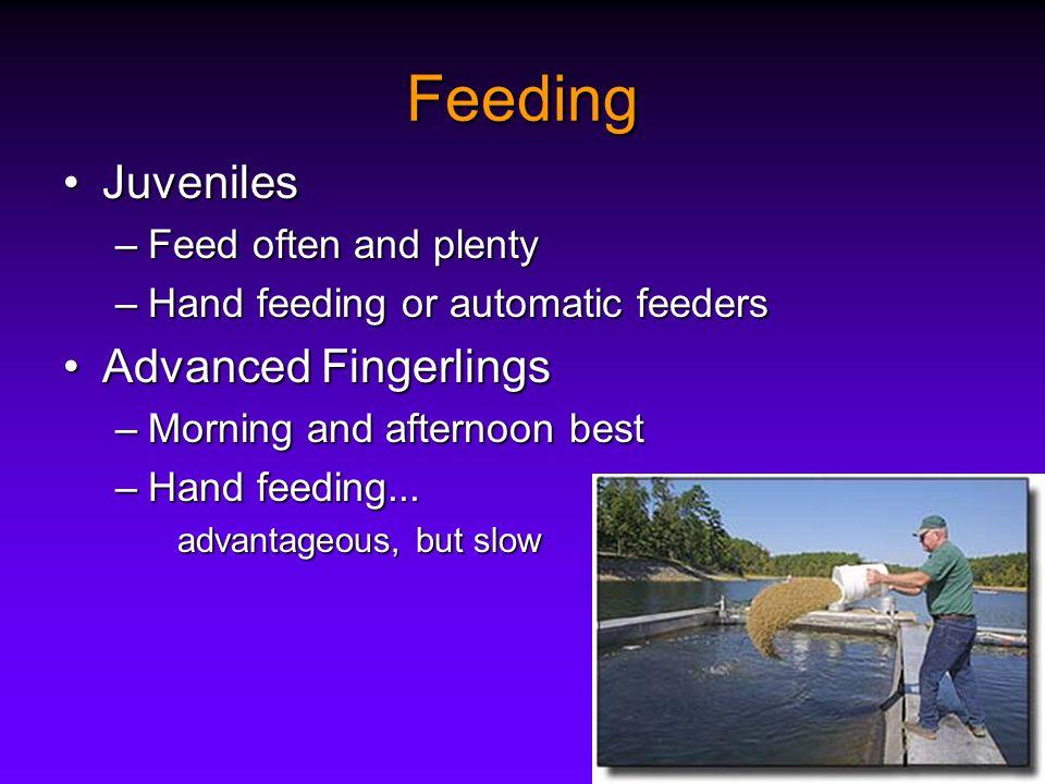 Feeding JuvenilesJuveniles –Feed often and plenty –Hand feeding or automatic feeders Advanced FingerlingsAdvanced Fingerlings –Morning and afternoon best –Hand feeding...